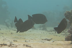 BD-150225-Tiran-6731-Zebrasoma-desjardinii-(Bennett.-1836)-[Ringed-tang].jpg
